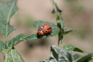Attack mode,  potato beetle larva