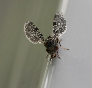 Peacock fly on the deck rail