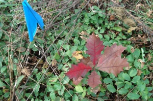 Seedling oak showing its colors