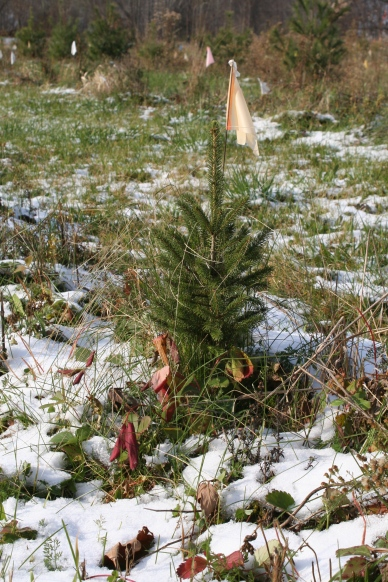 Slowly grows the seedling spruce