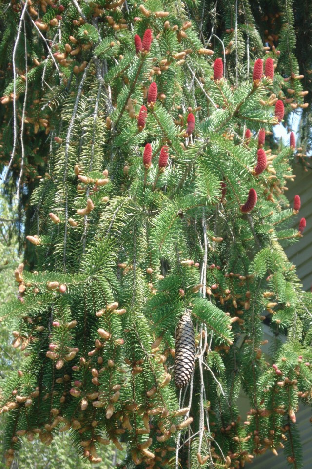 Norway Spruce flowers, early May